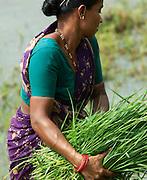 Harvesting rice during monsoon, Mangalore, Karnataka, India.
