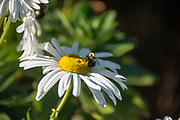 White daisy with black and yellow bee