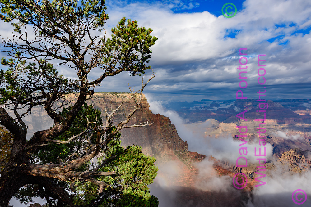 Fog clearing from the Grand Canyon, piñon  pine in foreground, from Lipan Point, © David A. Ponton