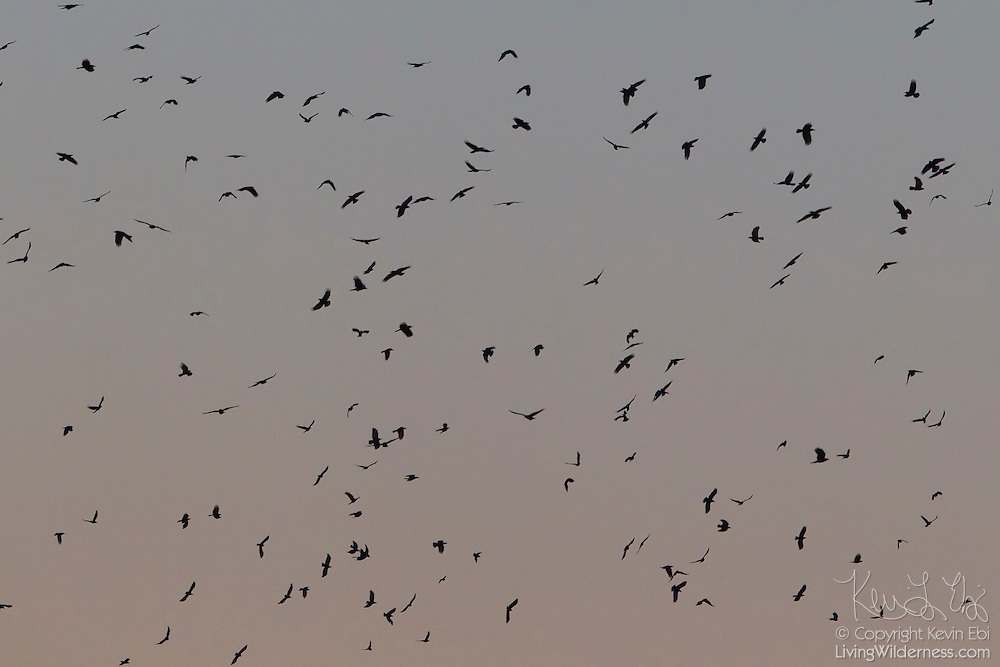 A murder of crows (Corvus brachyrhynchos) fills the evening sky near Kenmore, Washington. A large flock of crows is known as a murder, a name that came about because a group of crows will sometimes work together to kill a dying crow. Crows are found throughout the world with the exception of South America, New Zealand and Antarctica.
