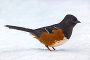 The feet of a spotted towhee (Pipilo maculatus) disappear beneath the surface of the snow as the bird forages in nearly a foot of snow in Snohomish County, Washington. The spotted towhee forages mainly by looking for food on the ground. Its diet consists mainly of insects, seeds and berries.