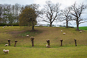Sheep in field with Willow trees, Salix alba, recently pollarded, lining a stream in springtime in Swinbrook in the Cotswolds, Oxfordshire, UK