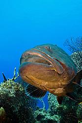 Black Grouper, Mycteroperca bonaci, West End, Grand Bahamas, Atlantic Ocean.