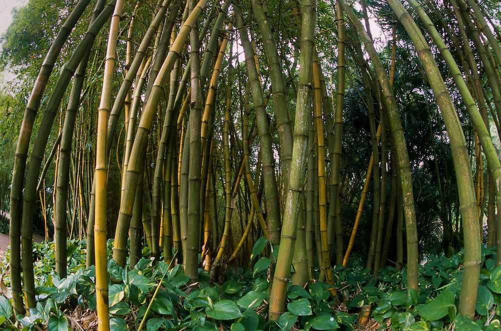 Bamboo Forest, Allerton Garden, National Tropical Botanical Garden, Kauai, Hawaii