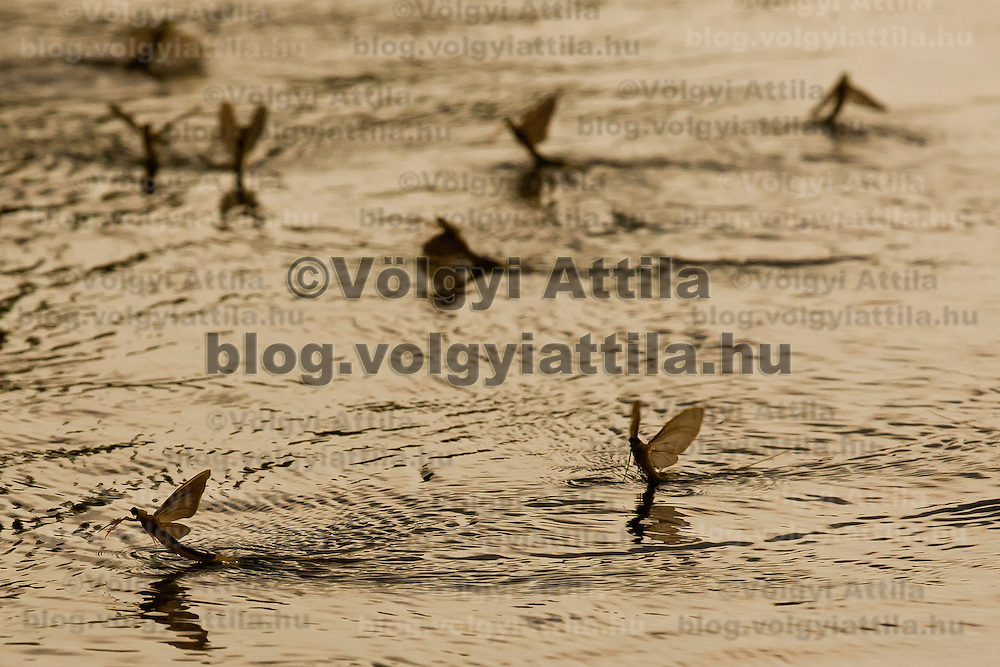Yearly few days long swarming of the long-tailed mayfliy (Palingenia longicauda) on the river Tisza in Tiszainoka (some 135 km south-east from Budapest), Hungary on June 12, 2011. ATTILA VOLGYI.The long-tailed mayfly larves live 3 years under water level in the river banks then swarm out for a one day period of their life to die after mating.