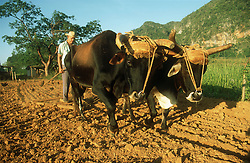 Oxen ploughing on farm at Vinales; Cuba,