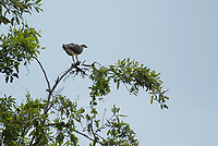 Osprey, Pandion haliaetus, eating a fish at the shore of the Tarcoles River, Costa Rica