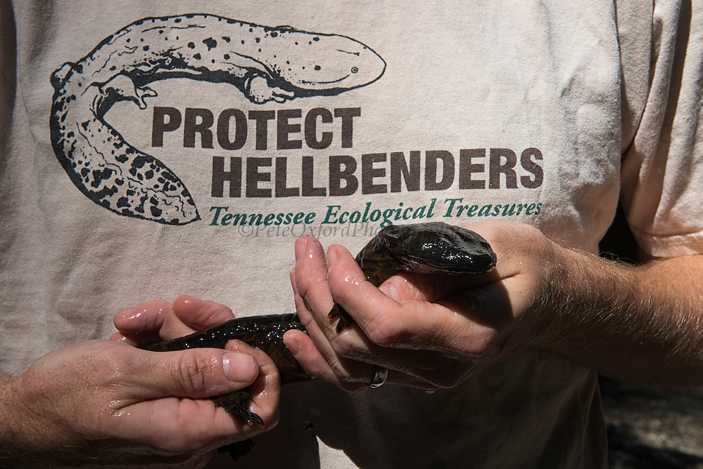 Eastern Hellbender (Cryptobranchus alleganiensis alleganiensis)<br /> CAPTIVE<br /> Coopers Creek,  Chattahoochee National Forest<br /> Georgia<br /> USA<br /> HABITAT & RANGE: Clear, fast-flowing streams and rivers of Susquehanna River drainage in southern New York and Pennsylvania, and large portions Missouri, Ohio, and Mississippi River drainages from western Pennsylvania, southern Ohio, extreme southern Indiana, most of West Virginia, Kentucky, and Tennessee, northern Alabama and Georgia, western North Carolina and Virginia.