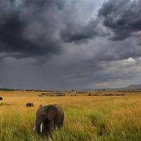 A heard of elephants forage in the Masai Mara below an approaching summer storm.<br /> Photo by Shmuel Thaler <br /> shmuel_thaler@yahoo.com www.shmuelthaler.com