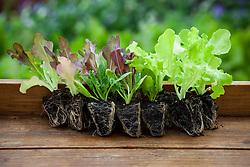 Lettuce plug plants