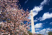 Cherry blossoms under the Washington Monument, Washington, DC USA