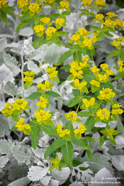 Euphorbia oblongata with Senecio cineraria - Silver ragwort