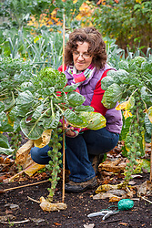 Staking brussel sprouts with a cane. Brassica oleracea