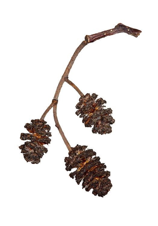 Common Alder Alnus glutinosa Betulaceae Height to 25m. Spreading, often multi-stemmed tree. Bark Brownish, fissured into squarish plates. Branches Ascending in young trees. Young twigs sticky. Buds 7mm long, on 3mm-long stalks. Leaves Stalked, to 10cm long, rounded with notched apex. Reproductive parts Purplish male catkins, in bunches of 2–3, appear first in winter. Female catkins cone-like, reddish at first ripening green by summer. Status Common beside water.
