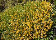 Spanish broom, Cytisus striatus, plant in yellow flower, Algarve, Portugal