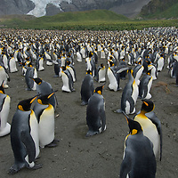 King Penguins stand and nest in a crowded rookery on a beach at Gold Harbor, South Georgia, Antarctica.