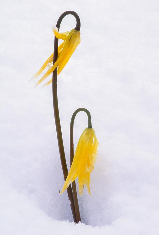 Glacier lily wildflower (Erythronium grandiflorum), Olympic National Park, Washington, USA
