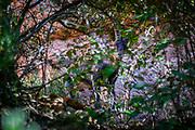 Iberian ibex, Montserrat, Catalonia