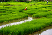Rice worker in the fields during summer harvest. RAW to Jpg