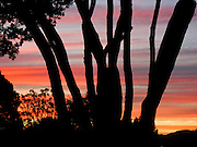 An orange, pink, and blue sunset makes silhouettes of tree trunks on North Island, New Zealand