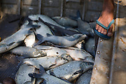 Tres Marias_MG, Brasil...Pesca no Rio Sao Francisco...The fishing in the San Francisco river...Foto: JOAO MARCOS ROSA / NITRO