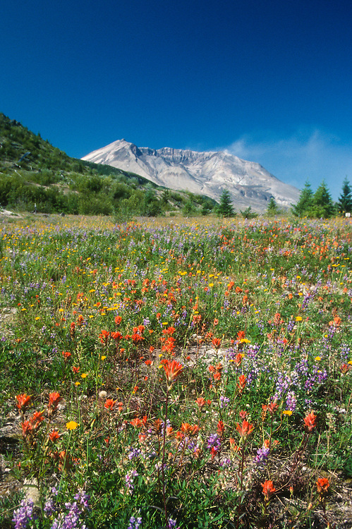 Mt. St. Helens and Wildflowers from Harmony, Mt. St. Helens National Volcanic Monument, Washington, US