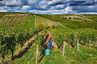 France, Centre-Val de Loire, Cher (18), le Berry,  vignoble de Sancerre, vendange // France, Cher 18, Sancerre village, vineyard, grape harvest