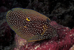 With its dusting of fiine white spots, the Comet, Calloplesiops altivelis, does bear a certain likeness to its celestial namesake. Note false eye spot at base of second dorsal and caudal fin, probably meant to confuse predators. Wakatobi, Tukang Besi Archipelago, Indonesia, Pacific Ocean.
