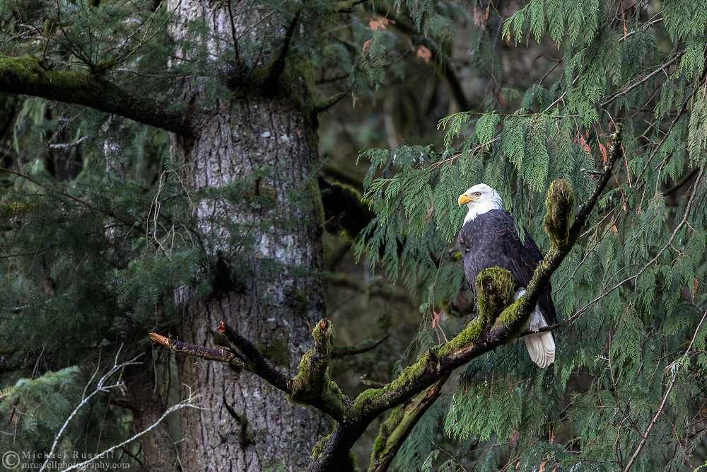 Bald Eagle (Haliaeetus leucocephalus) perched in a tree above the Harrison River during the Fraser Valley Bald Eagle Festival in Harison Mills, British Columbia, Canada