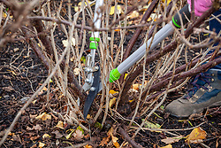 Removing old stems from redcurrants in winter with long handled loppers. Ribes rubrum 'Jonkheer Van Tets'