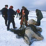 Biologist moving problem polar bears (Ursus maritimus) out of Churchill. Manitoba, Canada