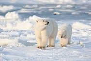 01874-12215 Polar Bear (Ursus maritimus) mother and cub near Hudson Bay  in Churchill Wildlife Management Area, Churchill, MB Canada