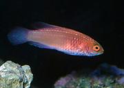 Red Velvet Wrasse, Cirrhilabrus rubrisquamis.