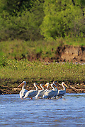 American White Pelicans, Beckman Wildlife Management Area, Montana