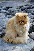 Shy Persian Cat, long haired ginger cat