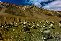 Herd of sheep and goats, Leh-Manali Highway, Himachal Pradesh, India.