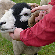 Tim Dunn a North York Moors hill farmer shows his Swaledale tup (ram) at Farndale Show, North Yorkshire, UK