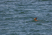 A Columbian black-tailed deer (Odocoileus hemionus) swims in the open water of Upright Channel between Lopez and Shaw islands in the San Juan Islands of Washington state. In this image, the deer was about a half-mile from land. The deer are native to the San Juan Islands and early Europen explorers reported seeing large herds of them swimming between the islands.
