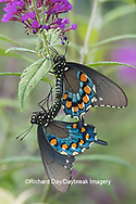 03004-01509 Pipevine Swallowtail (Battus philenor) male and female mating on Butterfly Bush (Buddleja davidii) Marion Co. IL