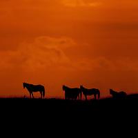 Horses walk along a ridge in Kuai, Hawaii.