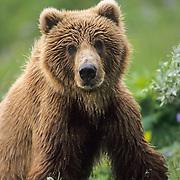 Alaskan brown bear at the Kodiak National Wildlife Refuge on Kodiak Island, Alaska.