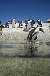 Penguin walking into the sea, Boulders Beach, Simon's Town, Cape Town, South Africa. (Credit Image: © Axiom/ZUMApress.com)