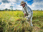 20 JULY 2016 - TAMPAKSIRING, GIANYAR, BALI:   A man cuts rice during the harvest in Tampaksiring, Bali. Rice is an important part of the Balinese culture. The rituals of the cycle of planting, maintaining, irrigating, and harvesting rice enrich the cultural life of Bali beyond a single staple can ever hope to do. Despite the importance of rice, Bali does not produce enough rice for its own needs and imports rice from nearby countries. Because of its dependable growing weather and number of micro-climates, rice cultivation is a year round activity in Bali. Some farmers can be harvesting rice, while farmers just a few kilometers away can be planting rice. Most rice in Bali is still harvested by hand.    PHOTO BY JACK KURTZ