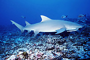 Indo-Pacific lemon shark or sicklefin lemon shark, Negaprion acutidens, with remora, Moorea, French Polynesia ( South Pacific Ocean )