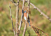Bluebird, Eastern / Sialia sialis