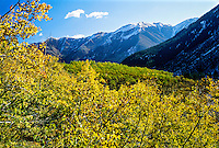 Fall foliage near Maroon Bells, near Aspen, Colorado USA