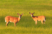 Whitetailed Fawns, central Montana.