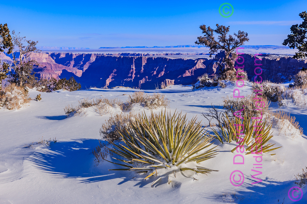 Fresh snow on the south rim of the  Grand Canyon near Lipan Point, with yuccas, Grand Canyon National Park, © David A. Ponton