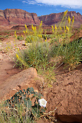 Vermillion Cliffs on US Route 89A in northern Arizona with Desert Plume and Jimson Weed