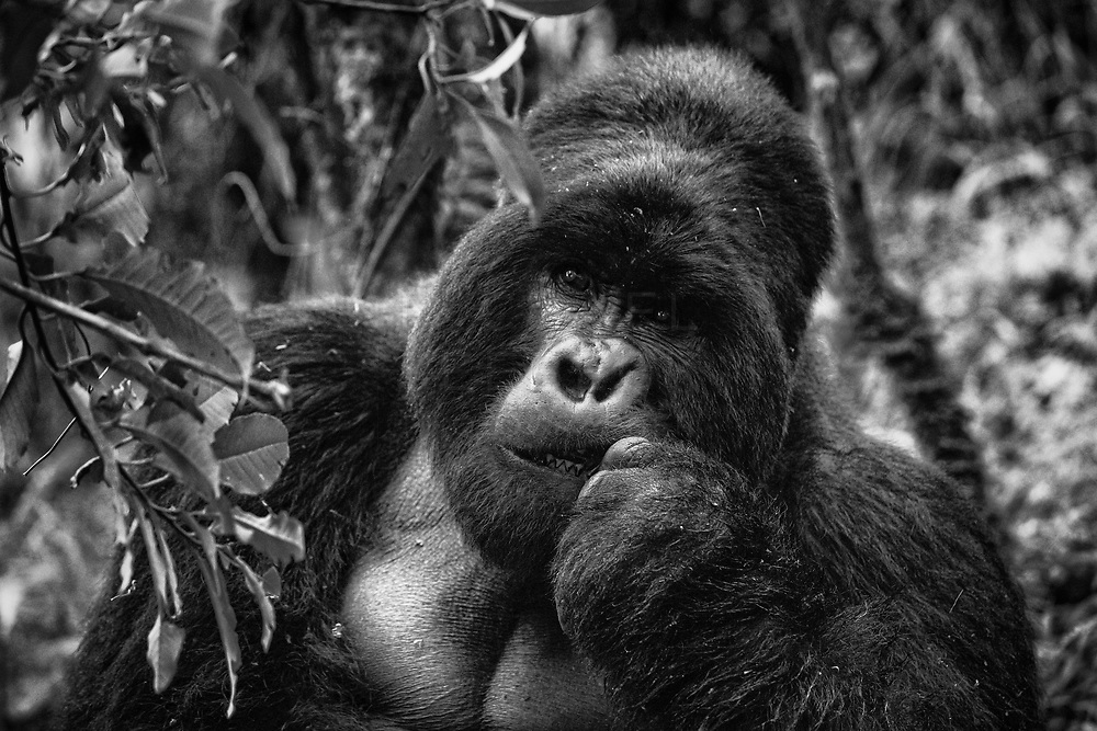 A large 'silverback' mountain gorilla contemplating while chewing on leaves. Uganda.<br /> <br /> Limited Edition of 25